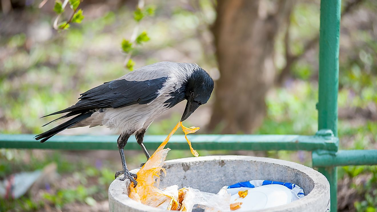 A crow looking for food in a garbage bin.