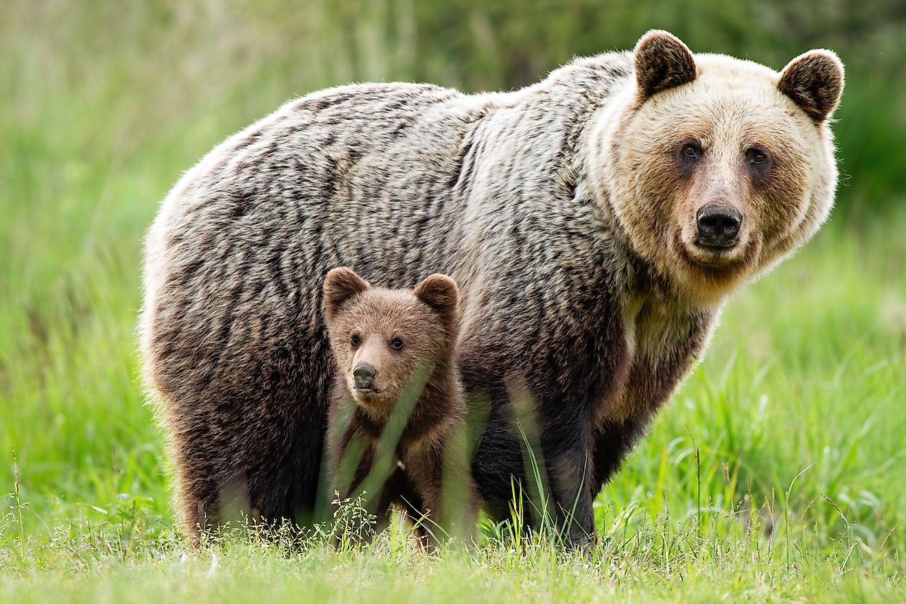 A brown bear mom with cubs. Image credit:  WildMedia/Shutterstock.com