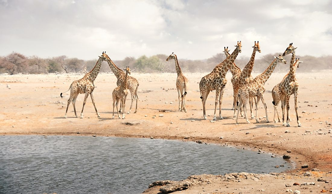 Herd of giraffes at a watering hole in Namibia.