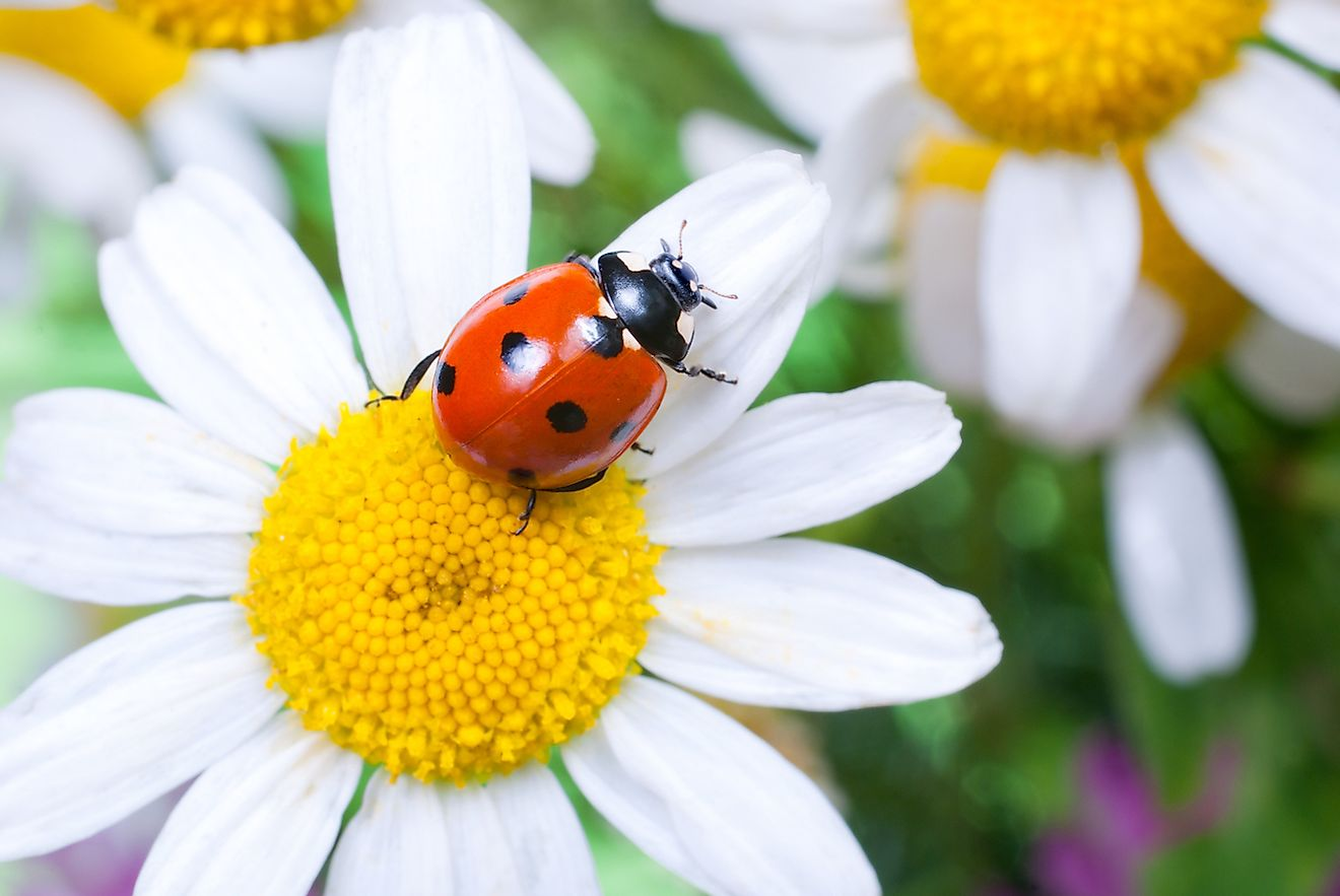 Ladybugs are great pollinators. Image credit: Tiplyashina Evgeniya/Shutterstock.com