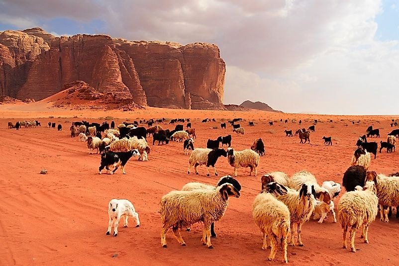 In Jordan, as in much of the Middle East and East Africa, goat and sheep herds are maintained on even the most arid deserts.