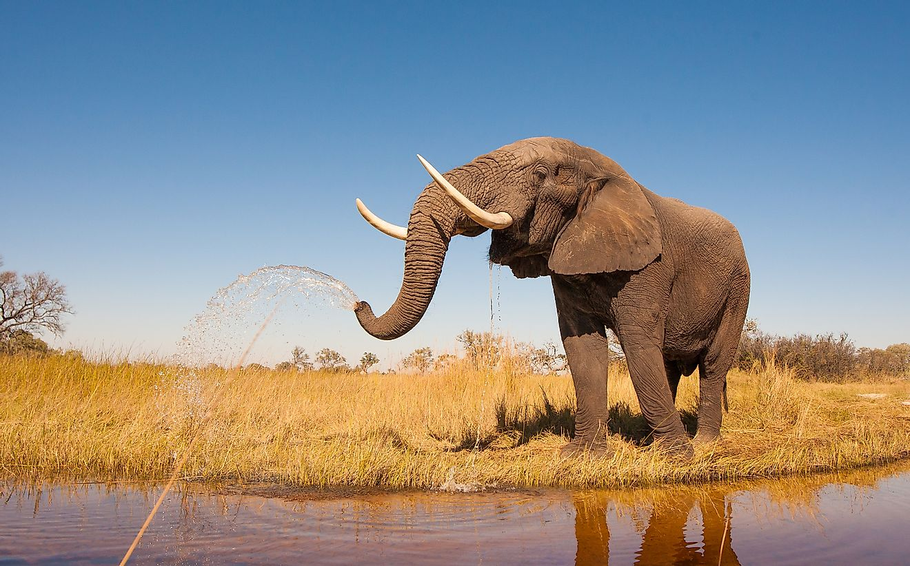 The African Elephant is endemic to Cameroon.