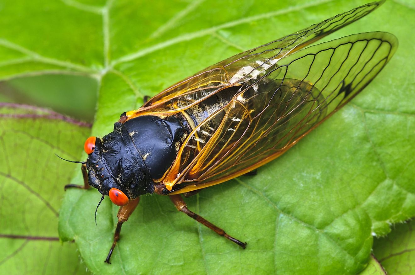 Adult periodical cicadas are over an inch in size, are black on top and orange below, with red eyes and transparent wings.
