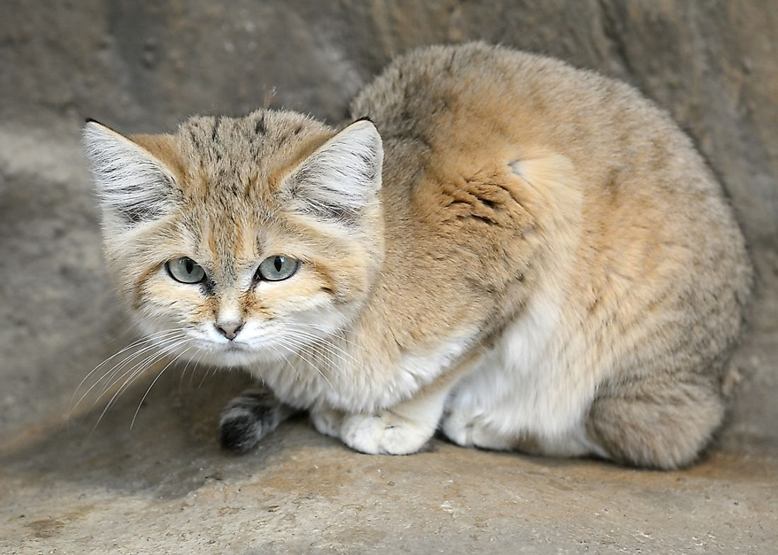 A sand cat.