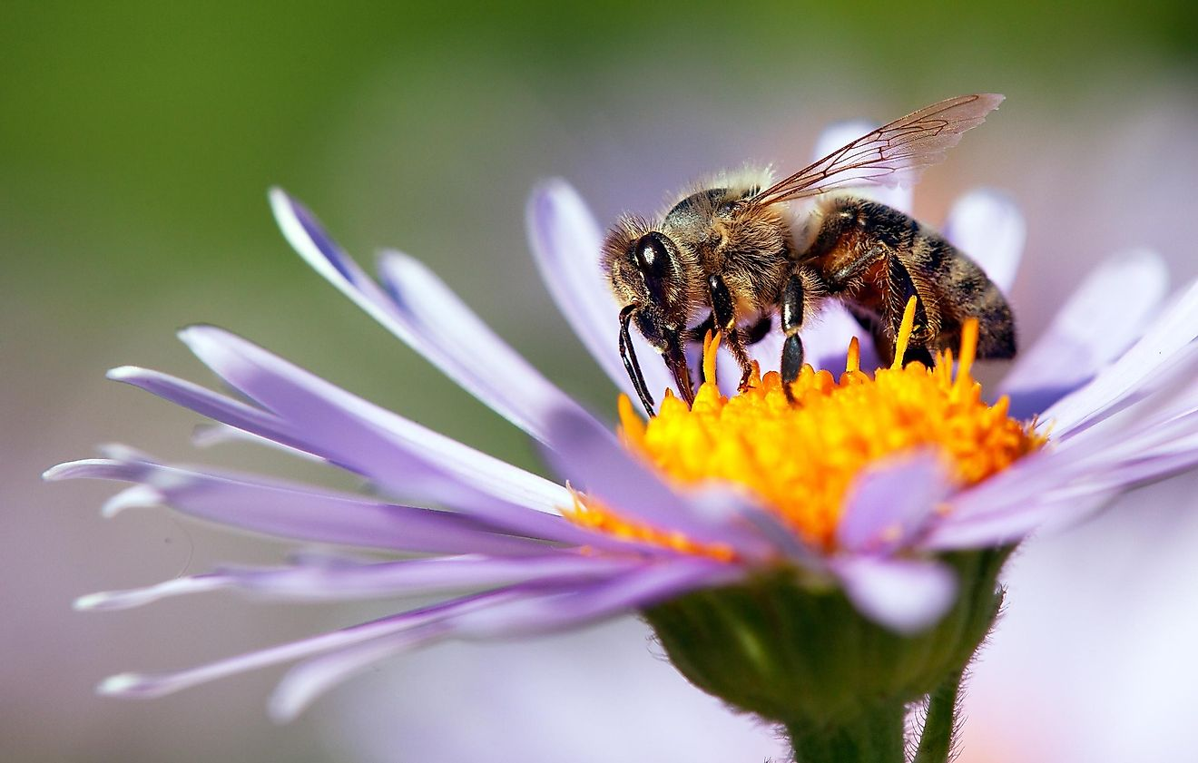 Honey bee sitting on a flower.