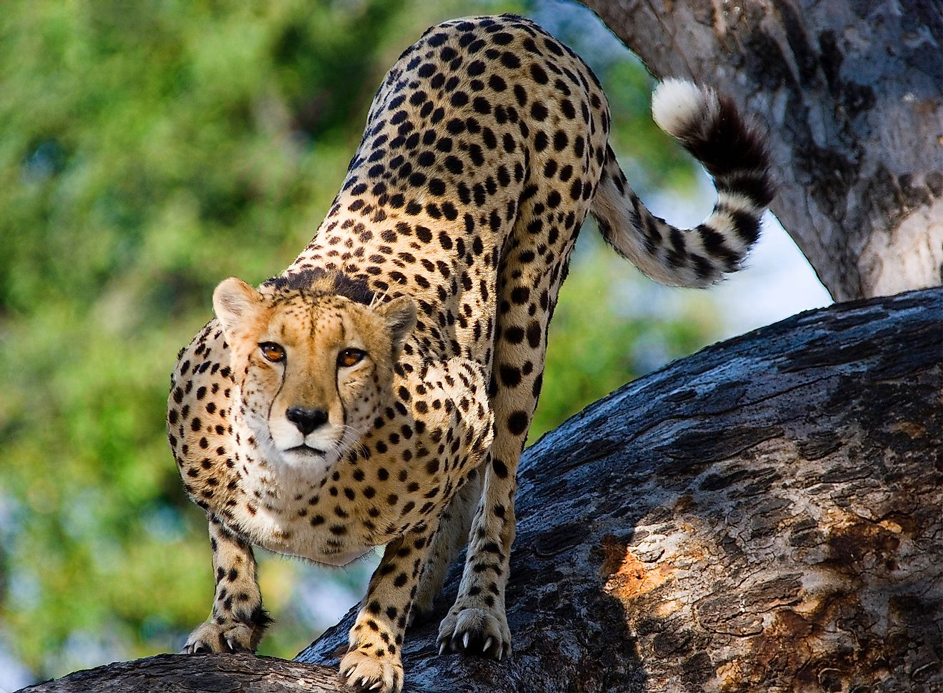 A cheetah is one of nature's most charismatic species.