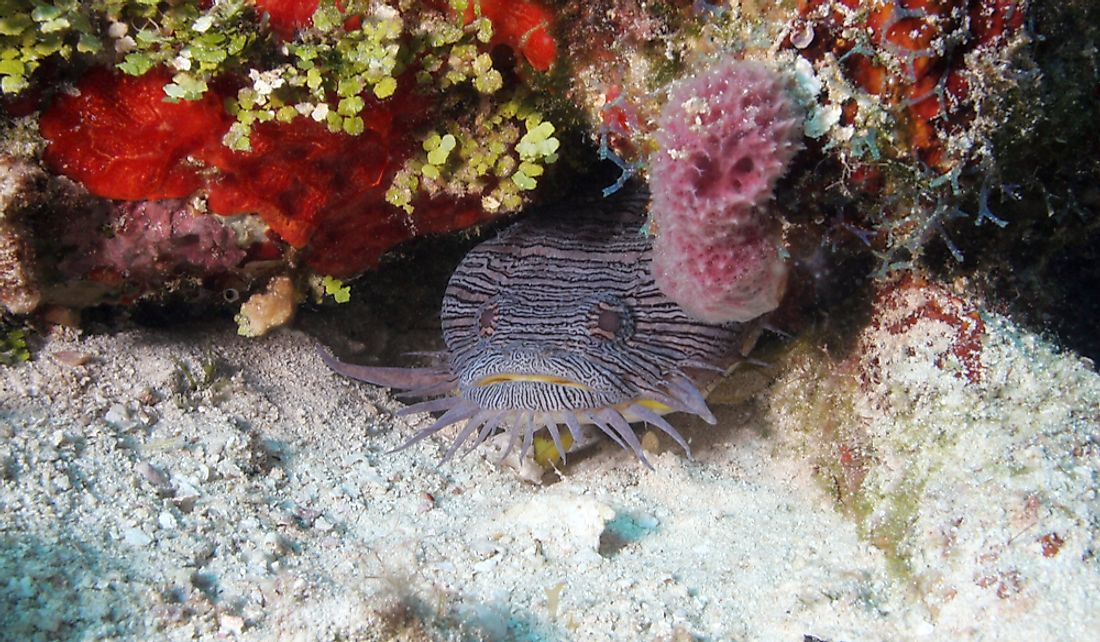 A splendid toadfish.
