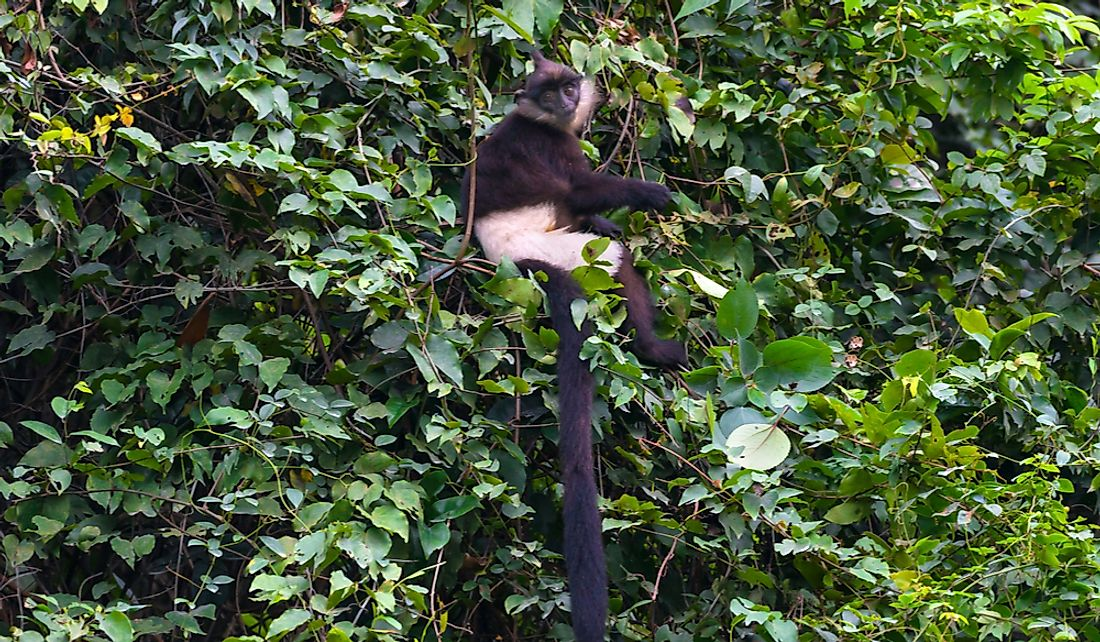The Delacour's Langur is a critically endangered species found only in Vietnam.