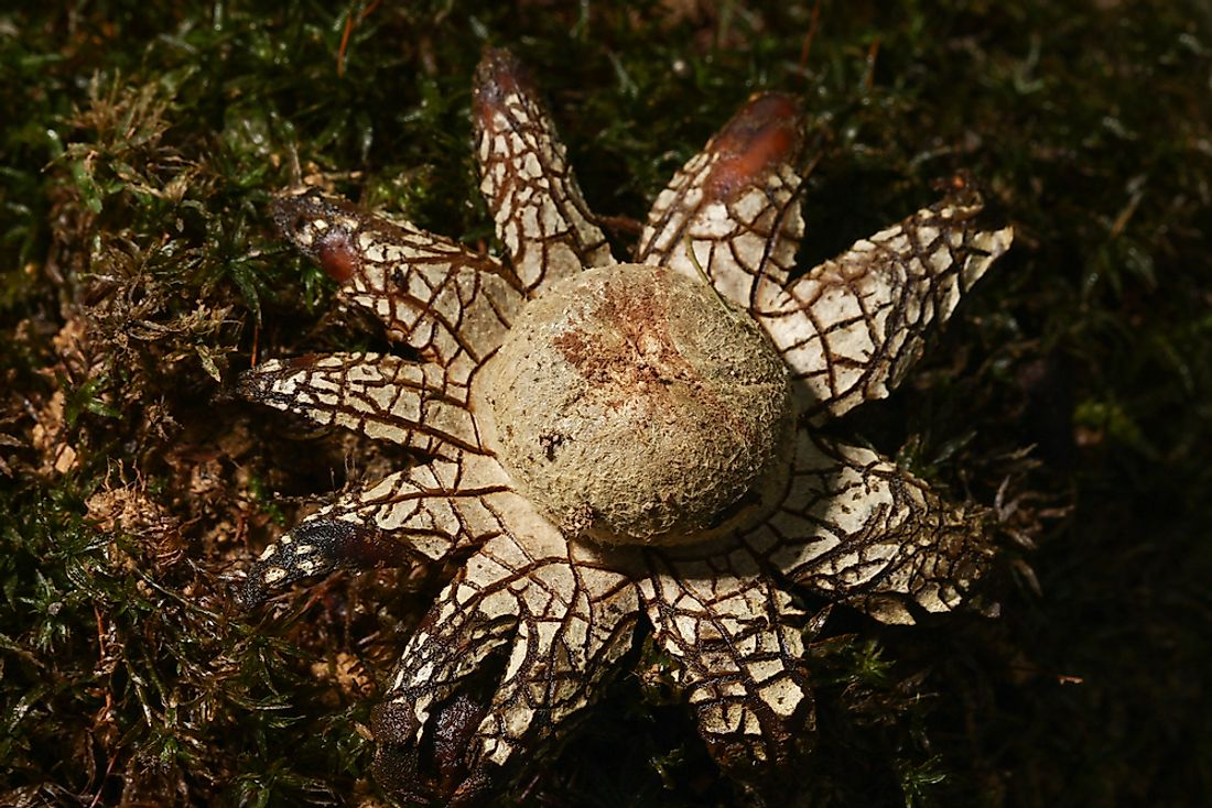 The false earthstar got its name from its pointed star-shaped outer layer.