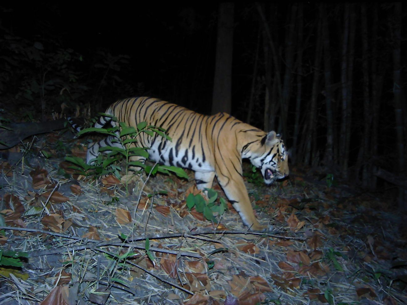T2 - An endangered tiger in western Thailand caught on camera. Image credit: DNP-PANTHERA-ZSL-RCU
