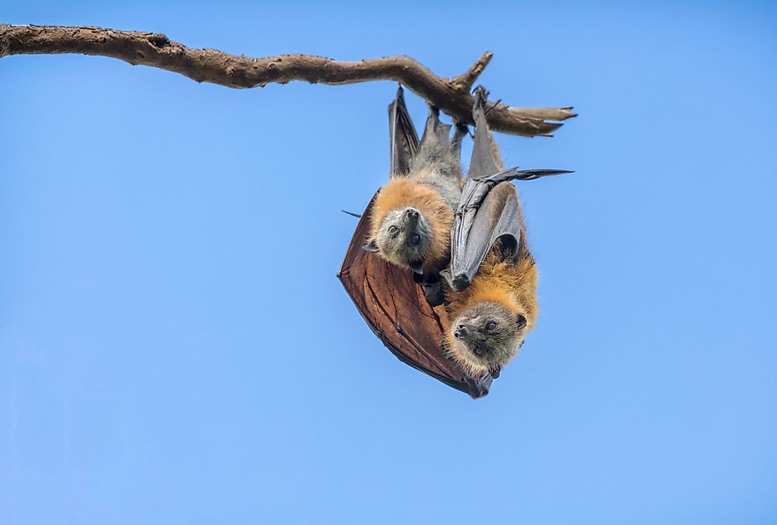 Flying fox juvenile with parent.