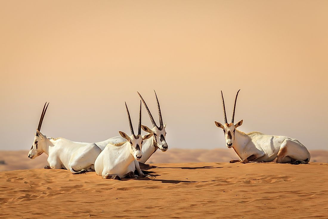 Oryxes in the Desert Conservation Reserve near Dubai, United Arab Emirates.