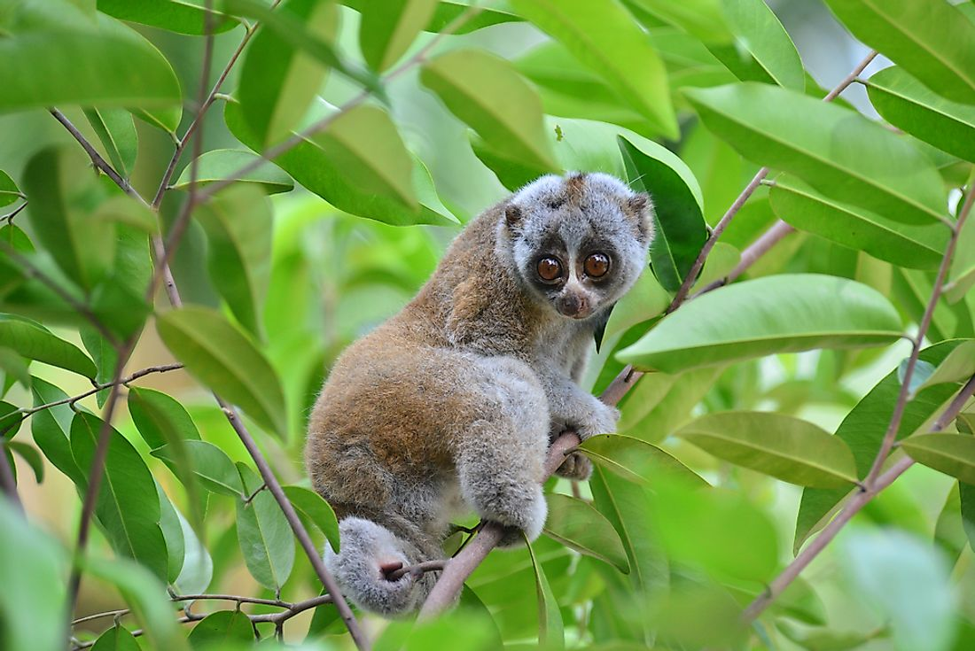 Hunting, trade, and destruction of habitat threaten the Slow Loris population of Vietnam.