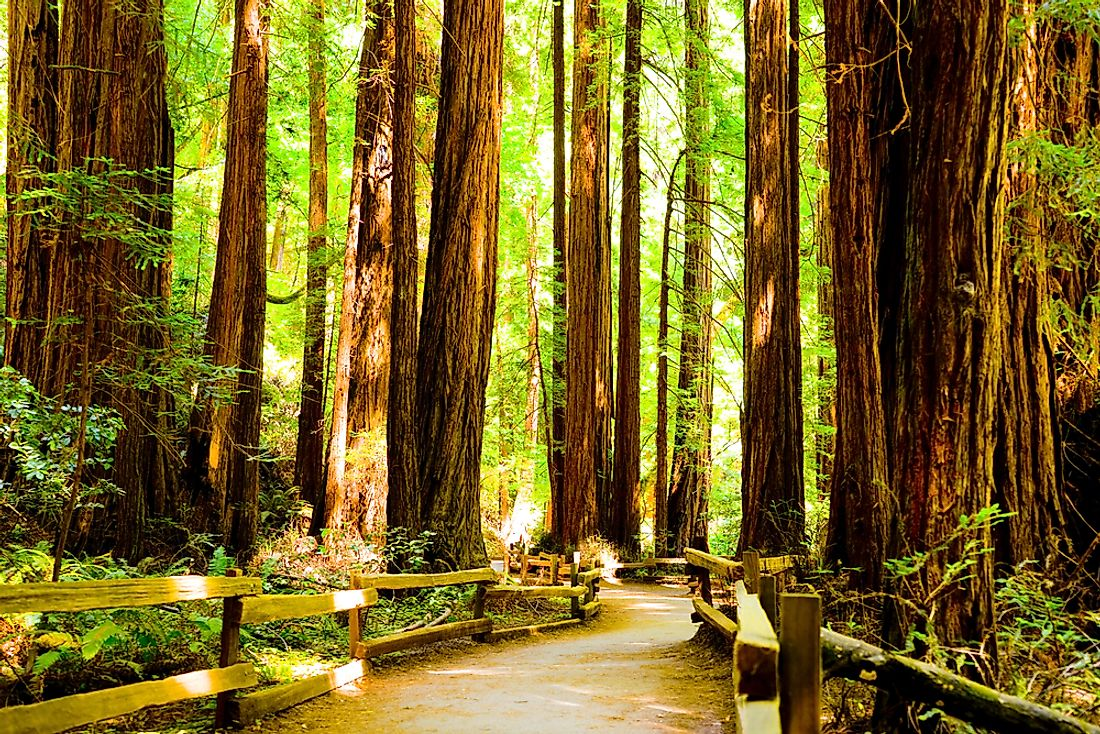 The coastal redwoods are some of the most massive and tallest trees in the globe.