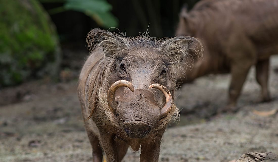 The North Sulawesi Babirusa is listed as a vulnerable species.