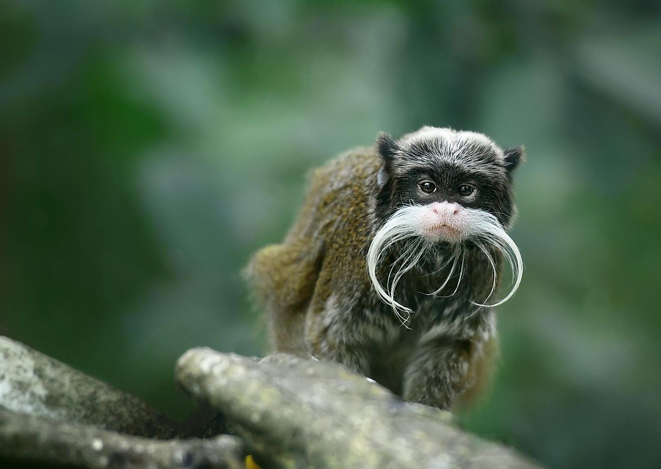 The Bearded Emperor Tamarin is famous for its iconic whiskers, which are said to resemble the facial hair of Wilhelm II, the last emperor of Germany.