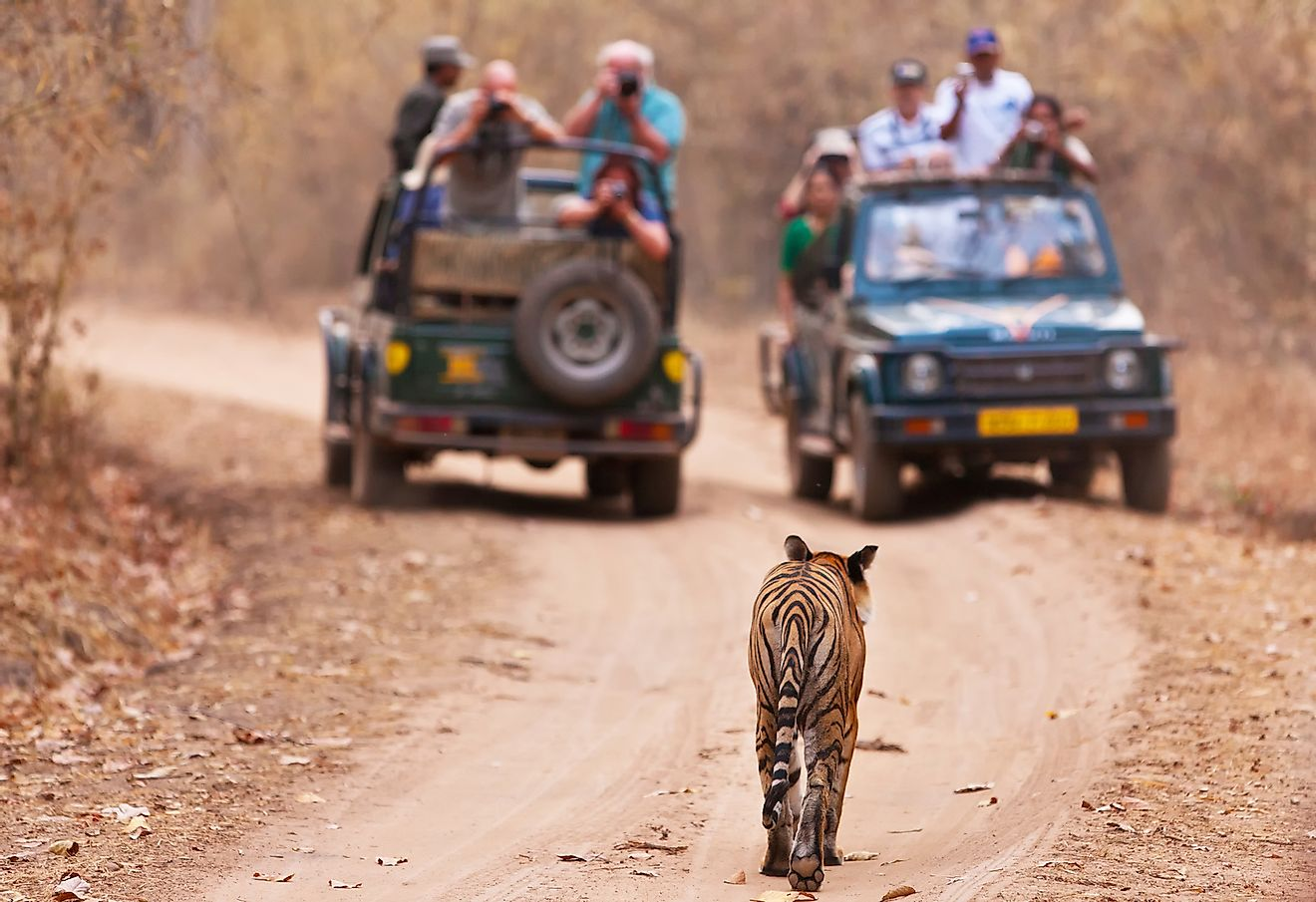 Safari vehicles with tourists observing tigers in the wild. Image credit: Travel Stock/Shutterstock.com