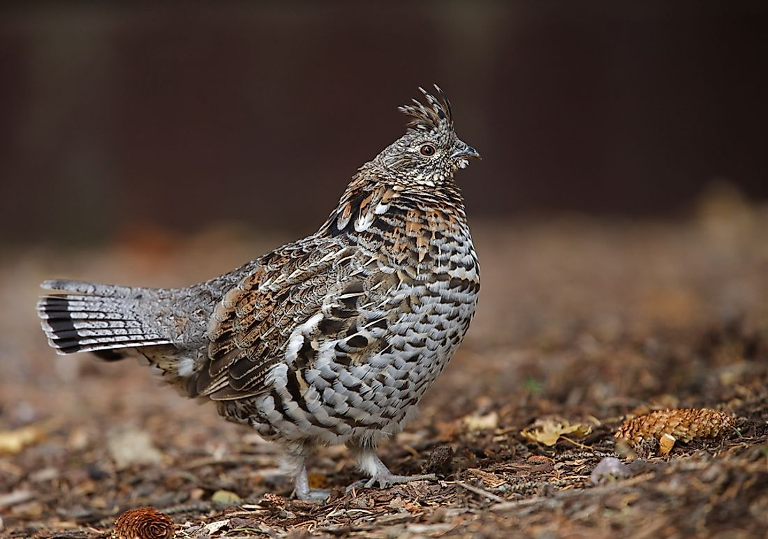 The ruffed grouse is the official state bird of Pennsylvania.