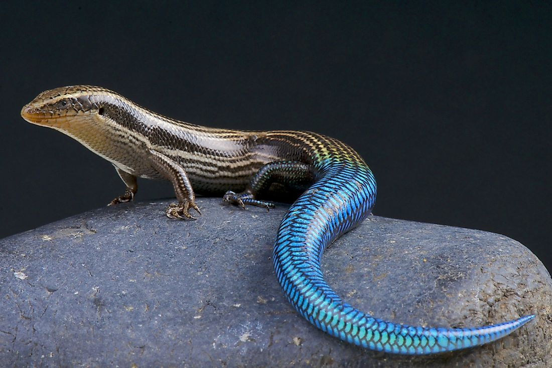 The Gran Canaria skink, native to the island of Gran Canaria.