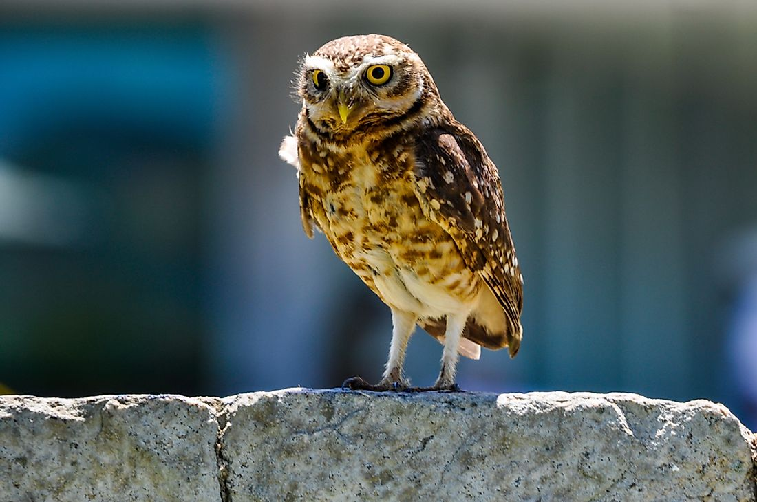 Some owls, like the burrowing owl, are more common than others.