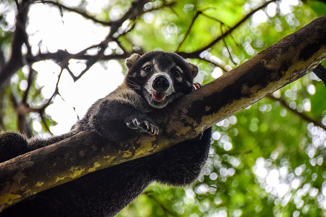 Coatimundi, also known as white-nosed coati, is a coati species belonging to the family Procyonidae.