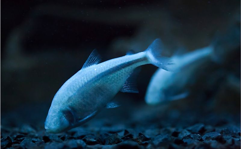 Mexican tetra (Astyanax mexicanus), also known as the blind cave fish.