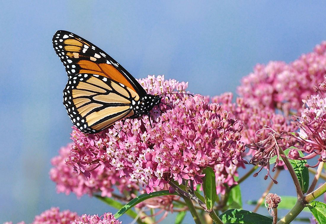 Monarch butterflies are known as milkweed butterflies due to their dependence on the milkweed plant. Photo credit: shutterstock.com.