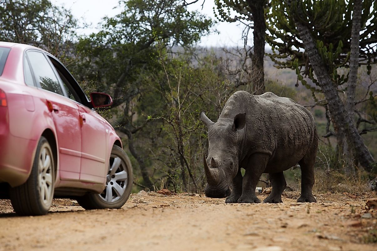 A white rhino stares down a car in Kruger National Park.