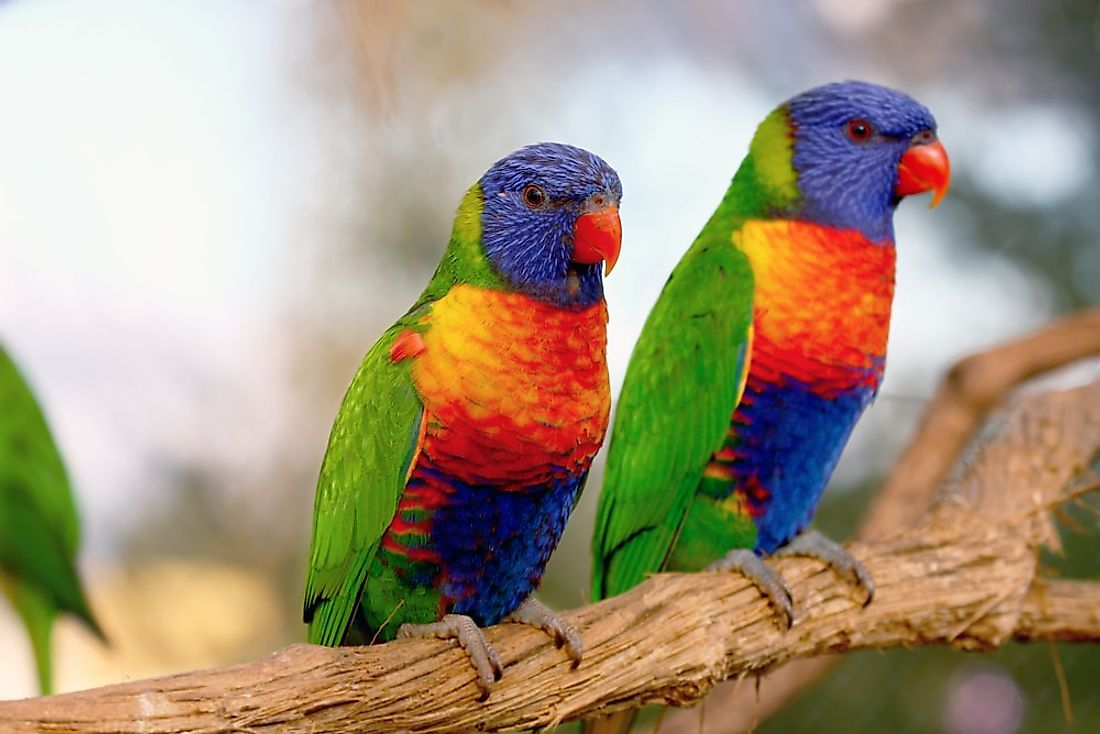 Rainbow lorikeets on a tree branch.