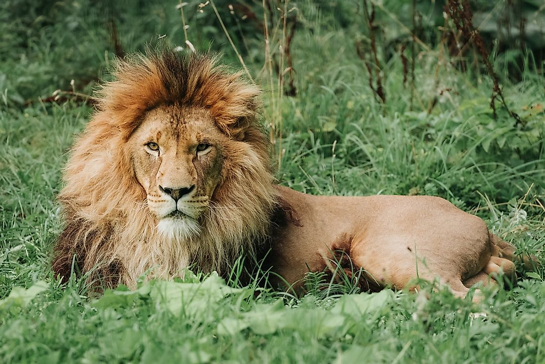 A male Southeast African lion: the iconic species of South Africa's national parks.