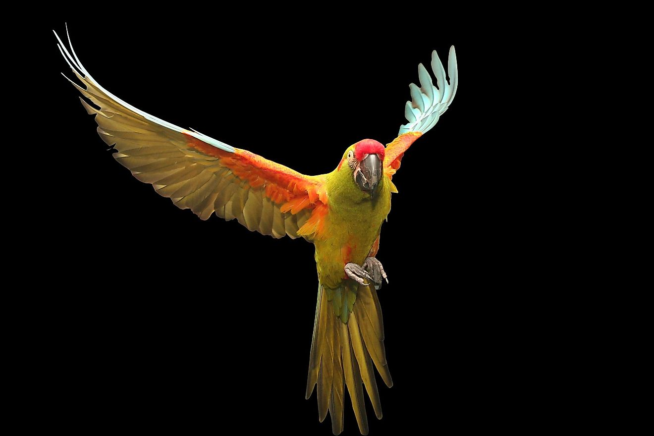Red Fronted Macaw flying.