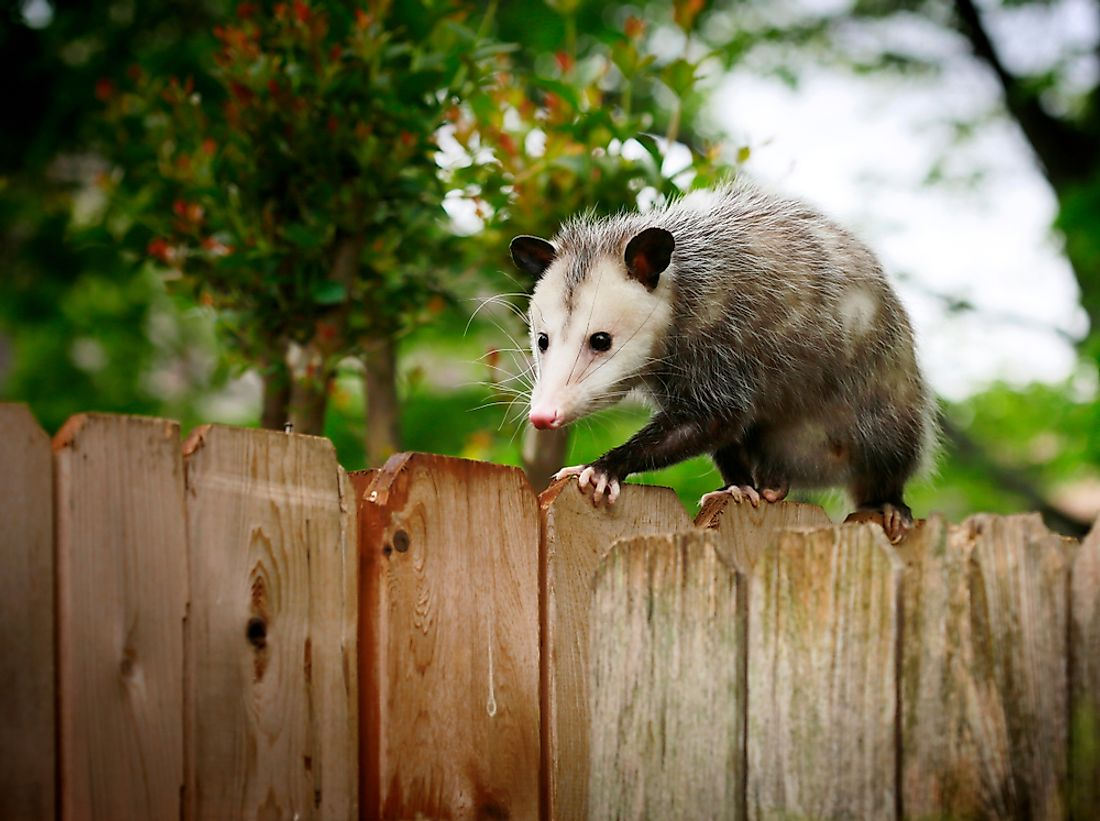 Opossums are commonly known as possums in the southern United States.