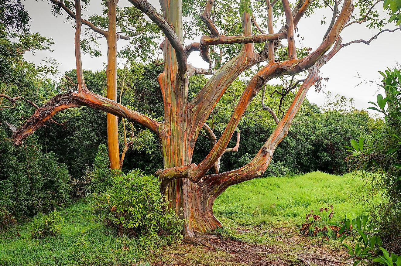 Rainbow Eucalyptus trees in Hawaii.