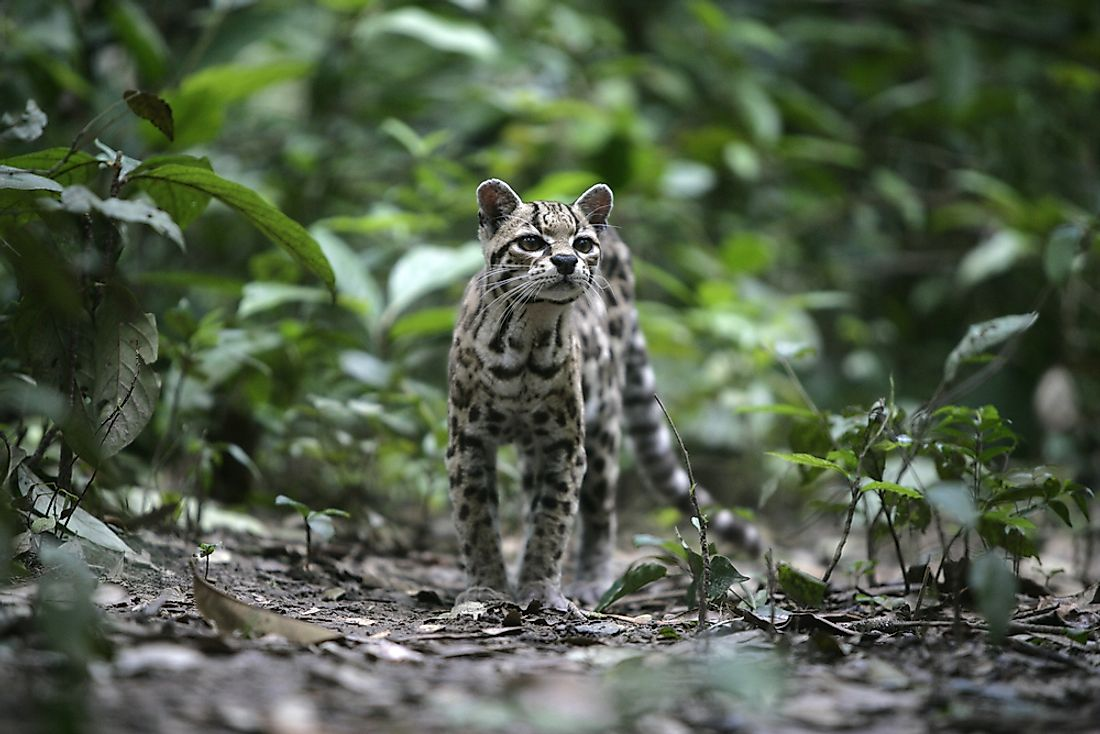 The margay has been classified as Near Threatened by the IUCN.
