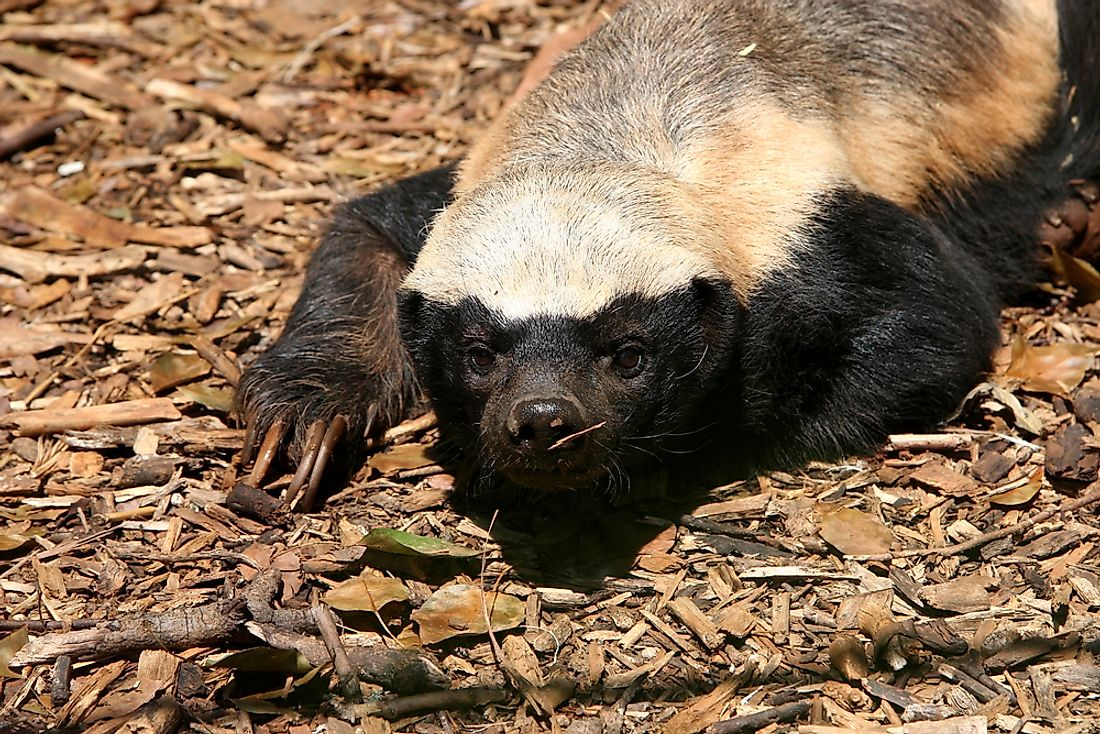 Honey Badger, Mellivora capensis, South Africa.