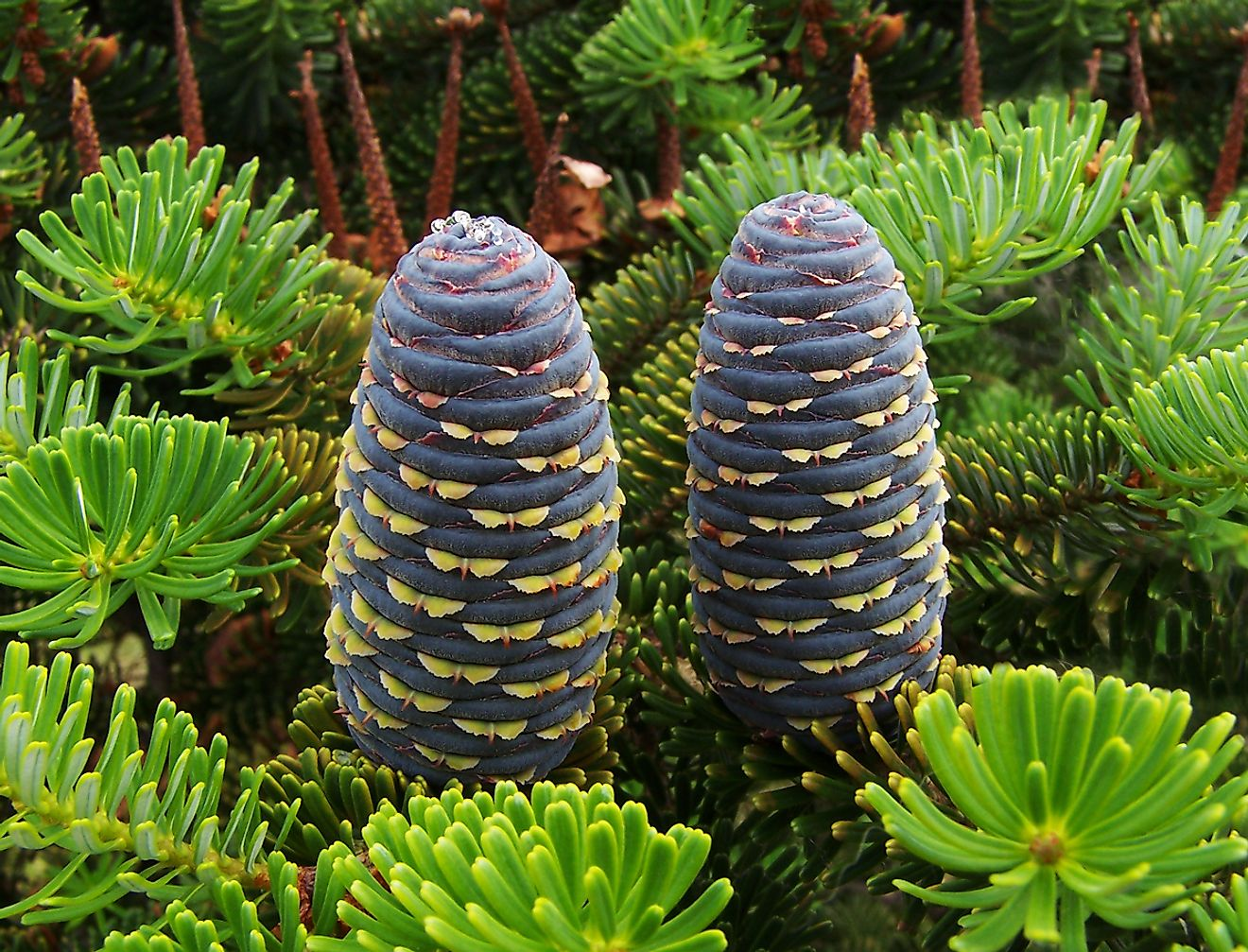 The Korean fir is an endangered species of plant that grows in specific locations across South Korea.