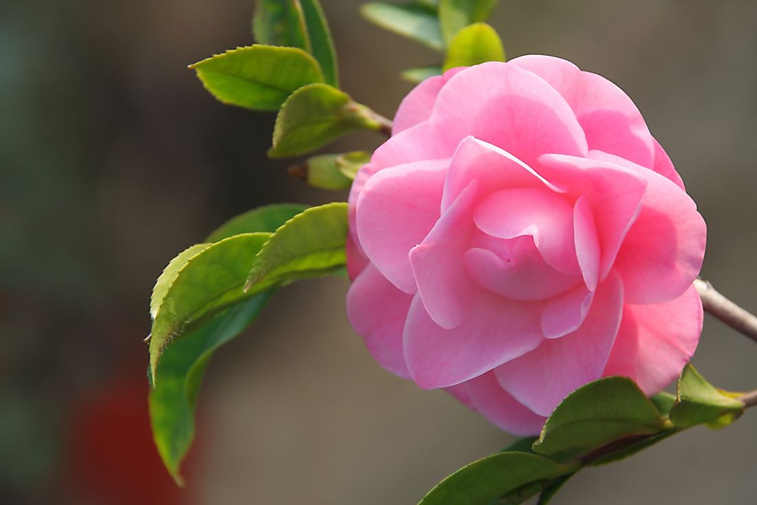 The camellia is the state flower of Alabama.