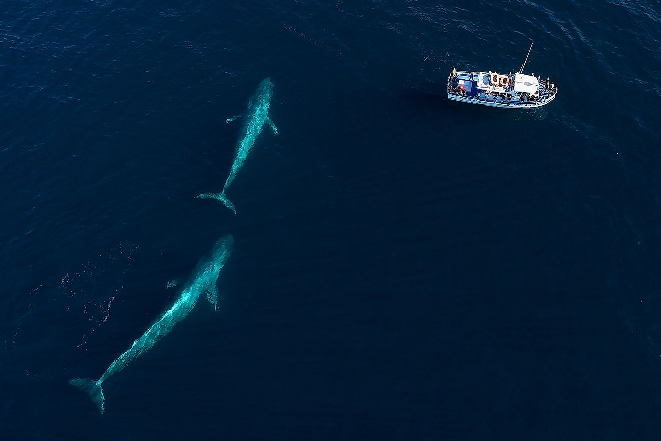 From an aerial view, a pair of blue whales swims under the surface in Monterey Bay, California. Image credit: Chase Dekker/Shutterstock.com