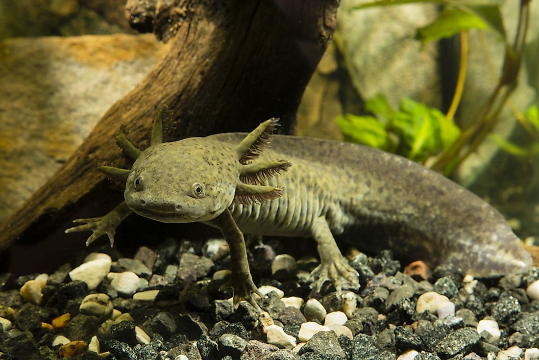 In the wild, axolotls are found only in Mexico's Lake Xochimilco.
