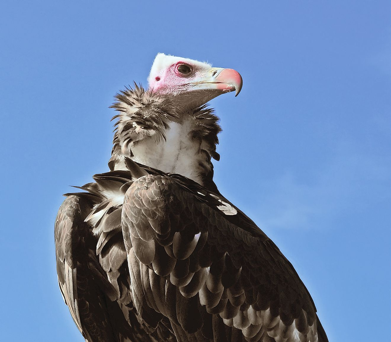 A White-Headed Vulture is a critically endangered species found in Africa.