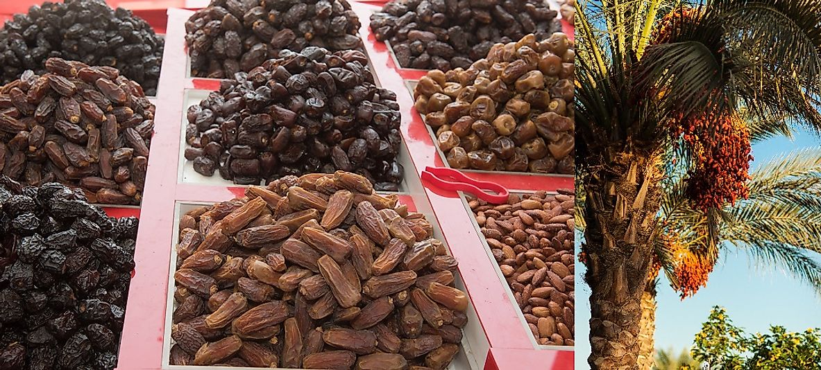 Egyptian dates ready to harvest from a date palm tree and others ready to sale in an Egyptian marketplace.