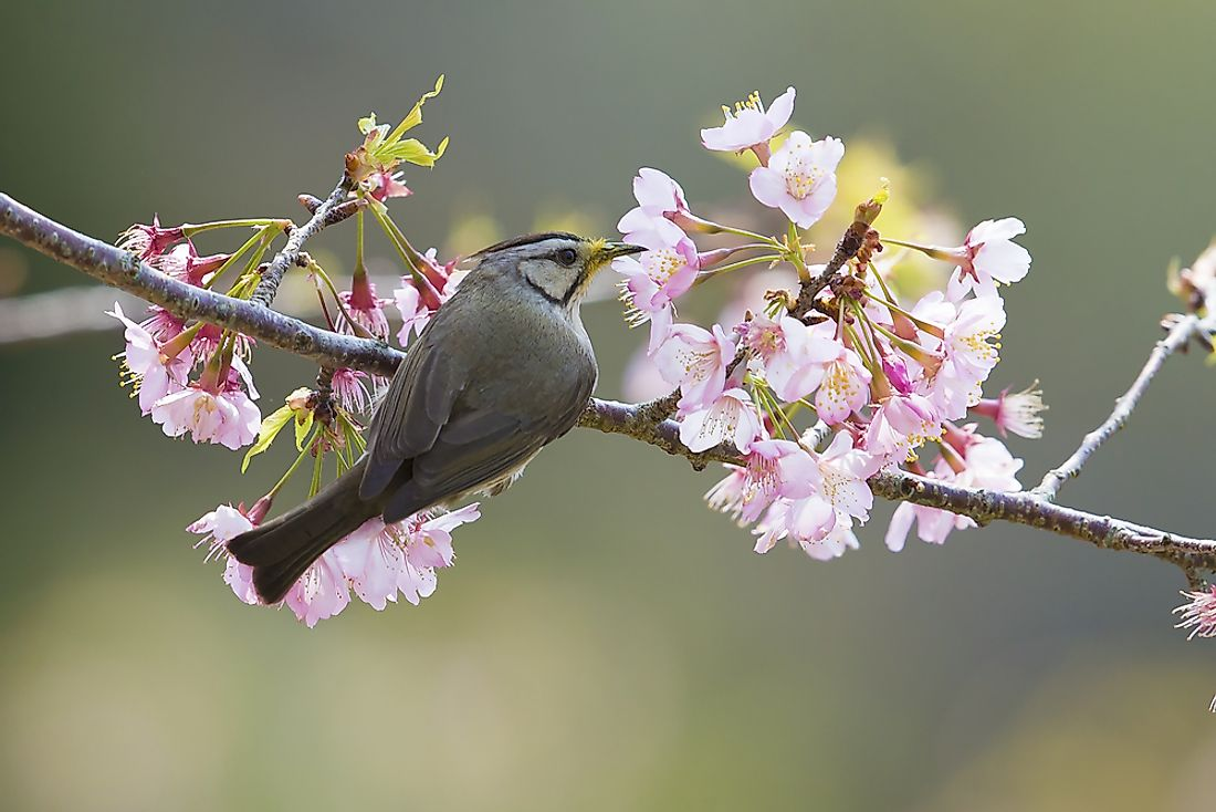 The Formasan Yuhina is a small songbird indigenous to Taiwan.