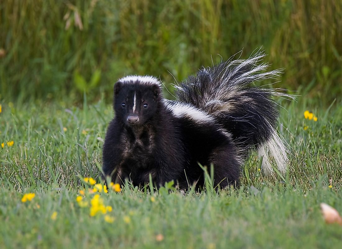 Skunks are easily adaptable to different environments.