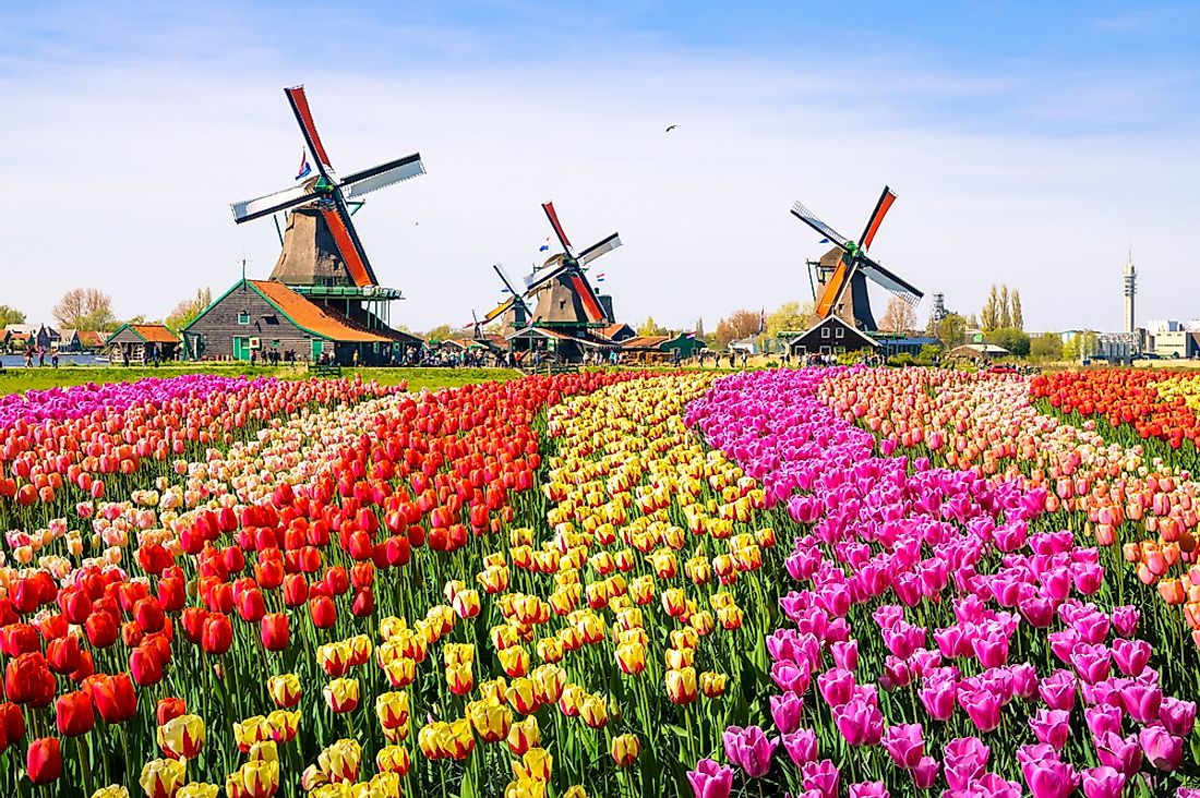 Tulips in Holland.