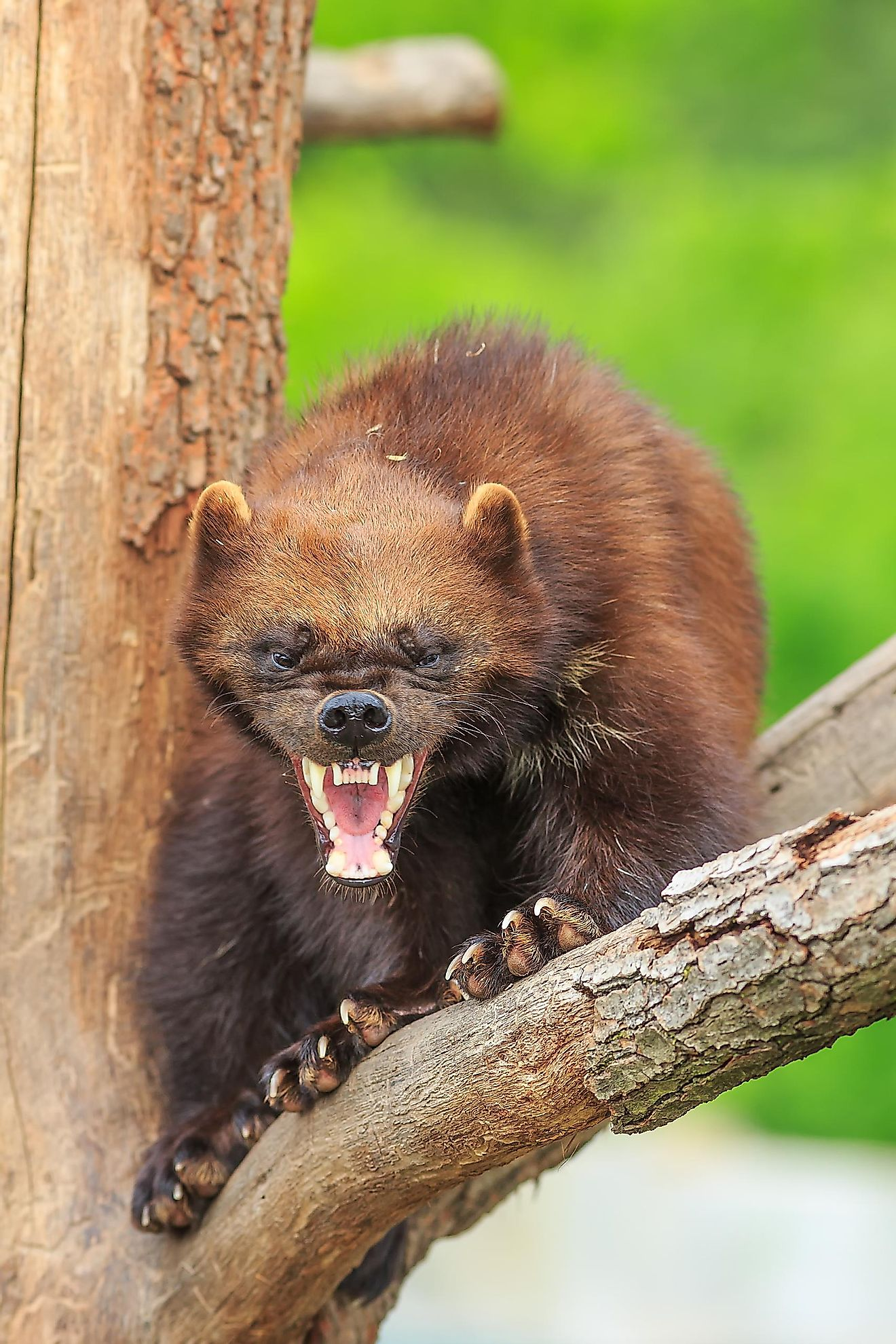 Due to its fierce appearance and agressive nature, many sports teams have adopted the Wolverine as their mascot.