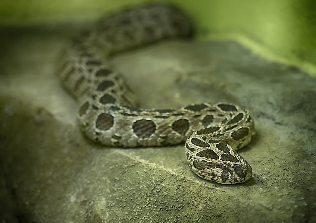 The venom of the slender Russell's viper is very potent to humans and other animals alike.