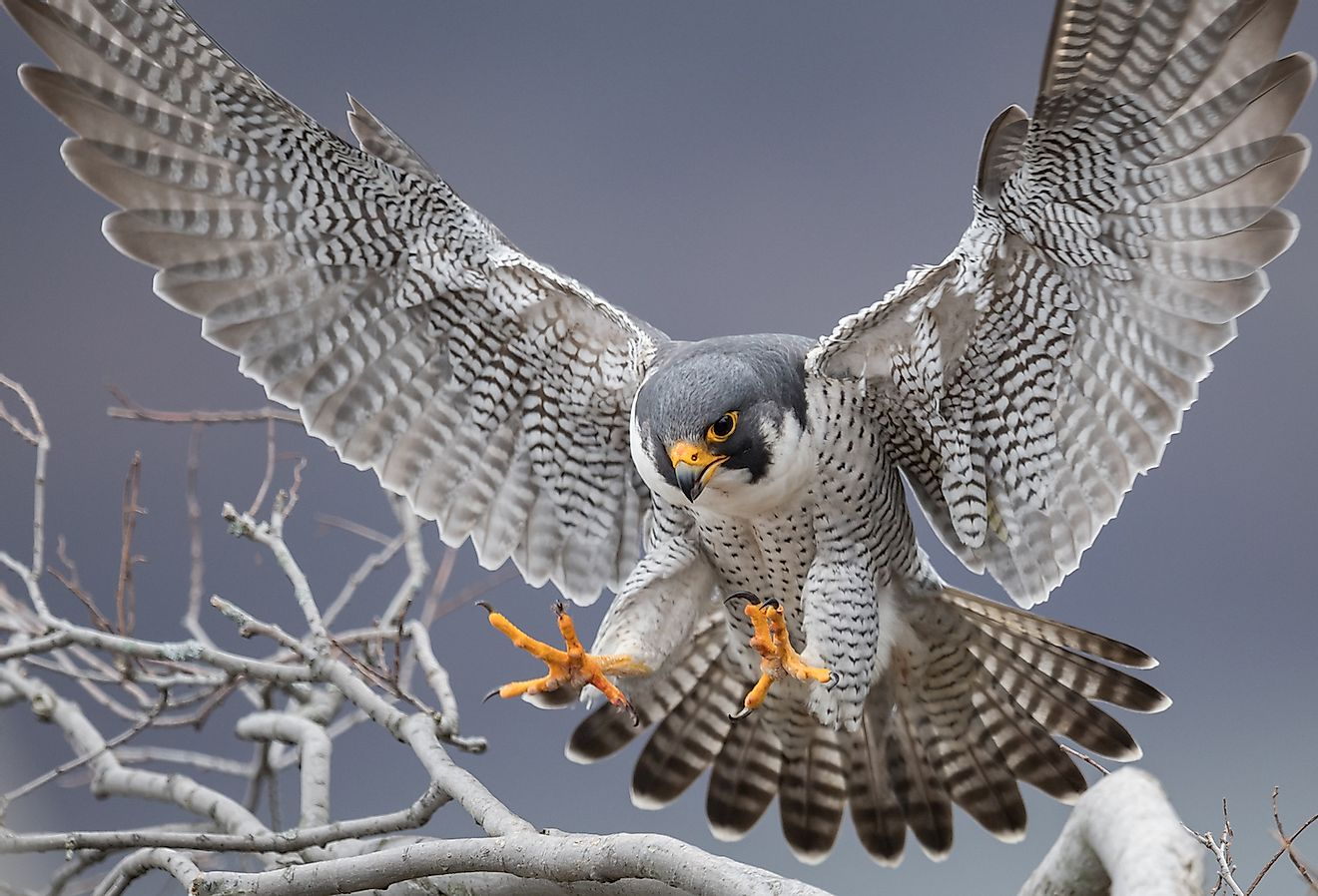 Peregrine Falcon in New Jersey. Image credit: Harry Collins Photography/Shutterstock.com
