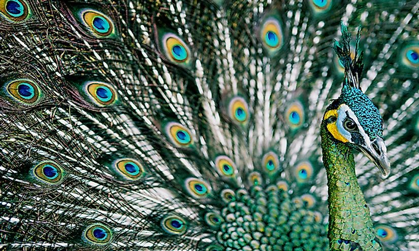 The green peafowl, a bird famous for its beauty, is an endangered species with small populations in Cambodia.
