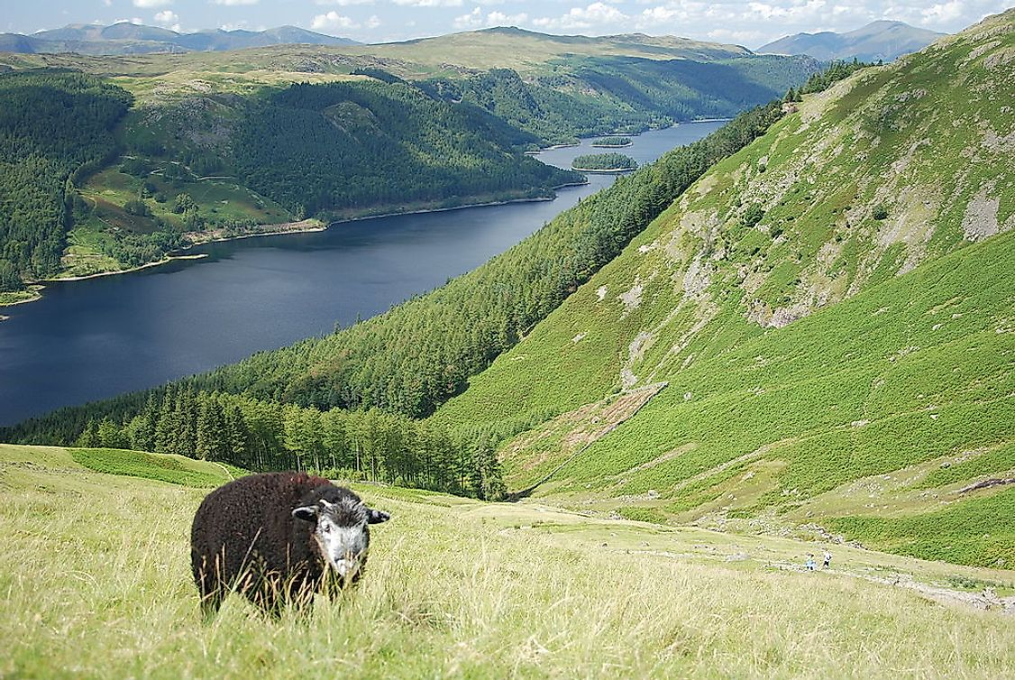 A Herdwick grazing above Thirlmere in Lake District, England.