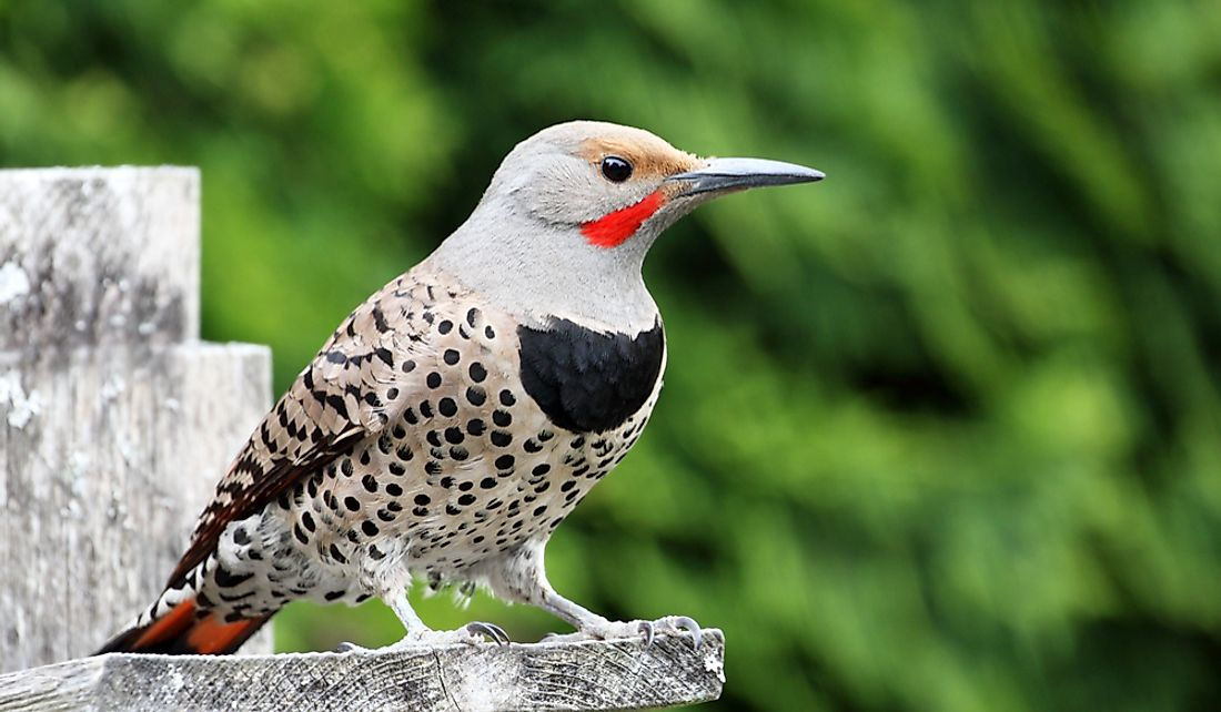 The northern flicker is a type of woodpecker.